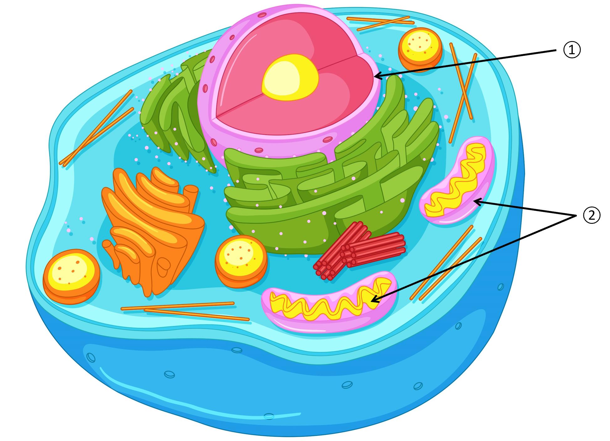 Au coeur de la cellule, le noyau contient l'ADN et la membrane contient les mitochondries